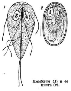 Puti popadaniia liamblii` v organizm